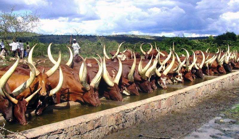 The Ankole Cattle