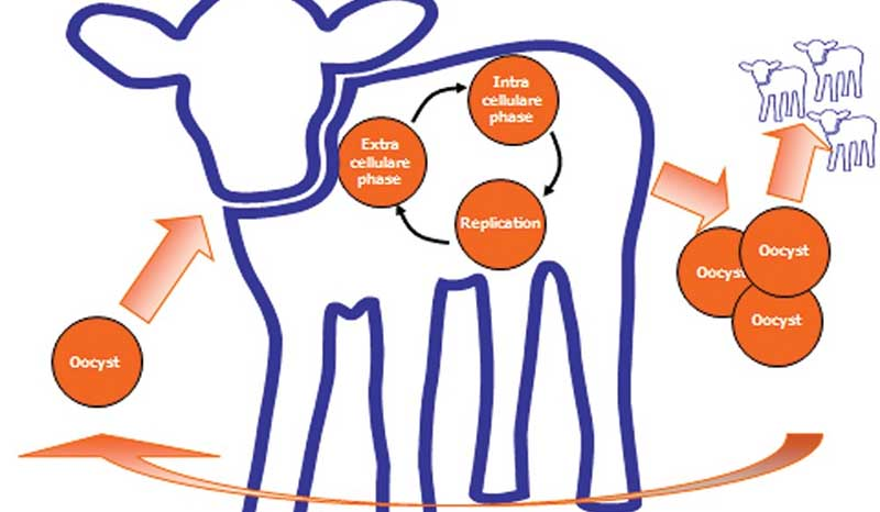 Cryptosporidiosis in Cattle