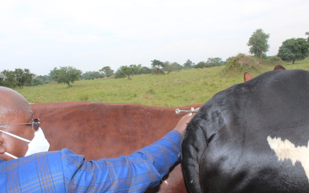 FMD vaccination launched in Nakaseke district